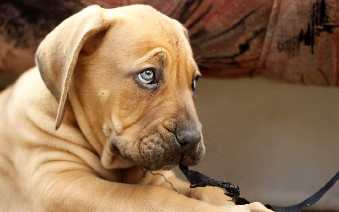 HOW TO CHOOSE A BOERBOEL PUPPY